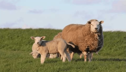 New Zealand lamb emits less carbon than UK lamb