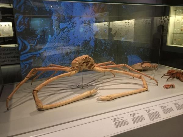 gigantic japanese spider crab at Lee Kong Chian Natural History Museum