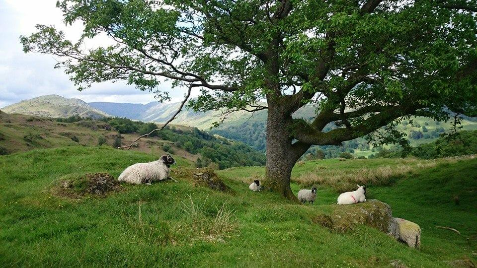 Rydal in the Lake District, with sheep and a tree
