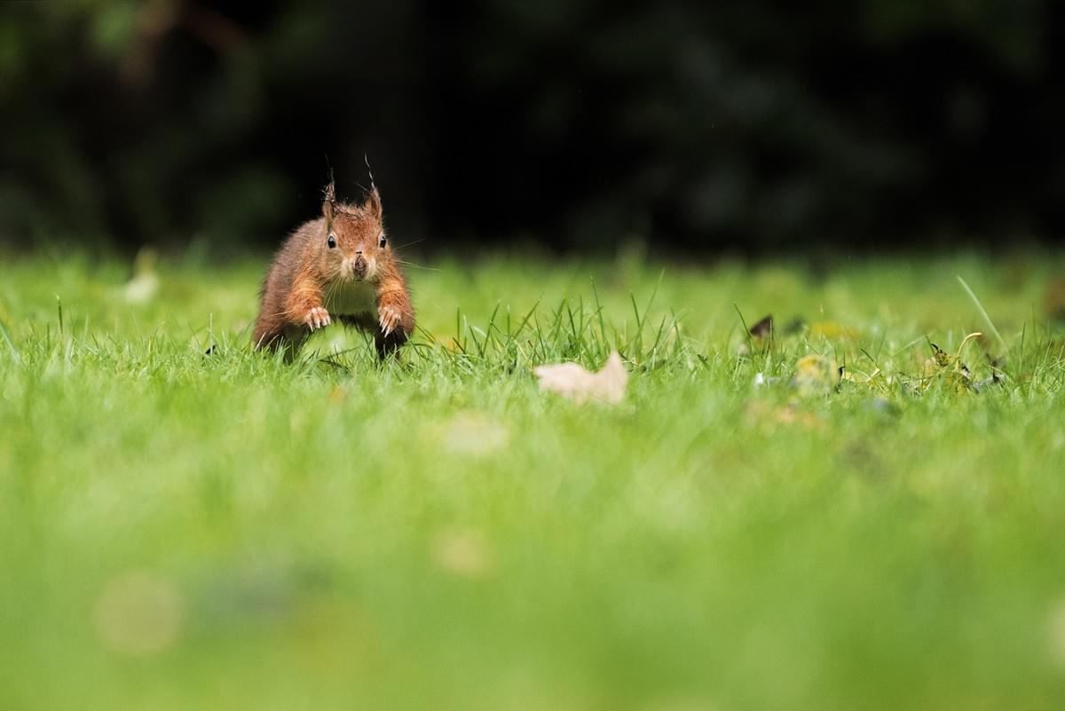red squirrel running