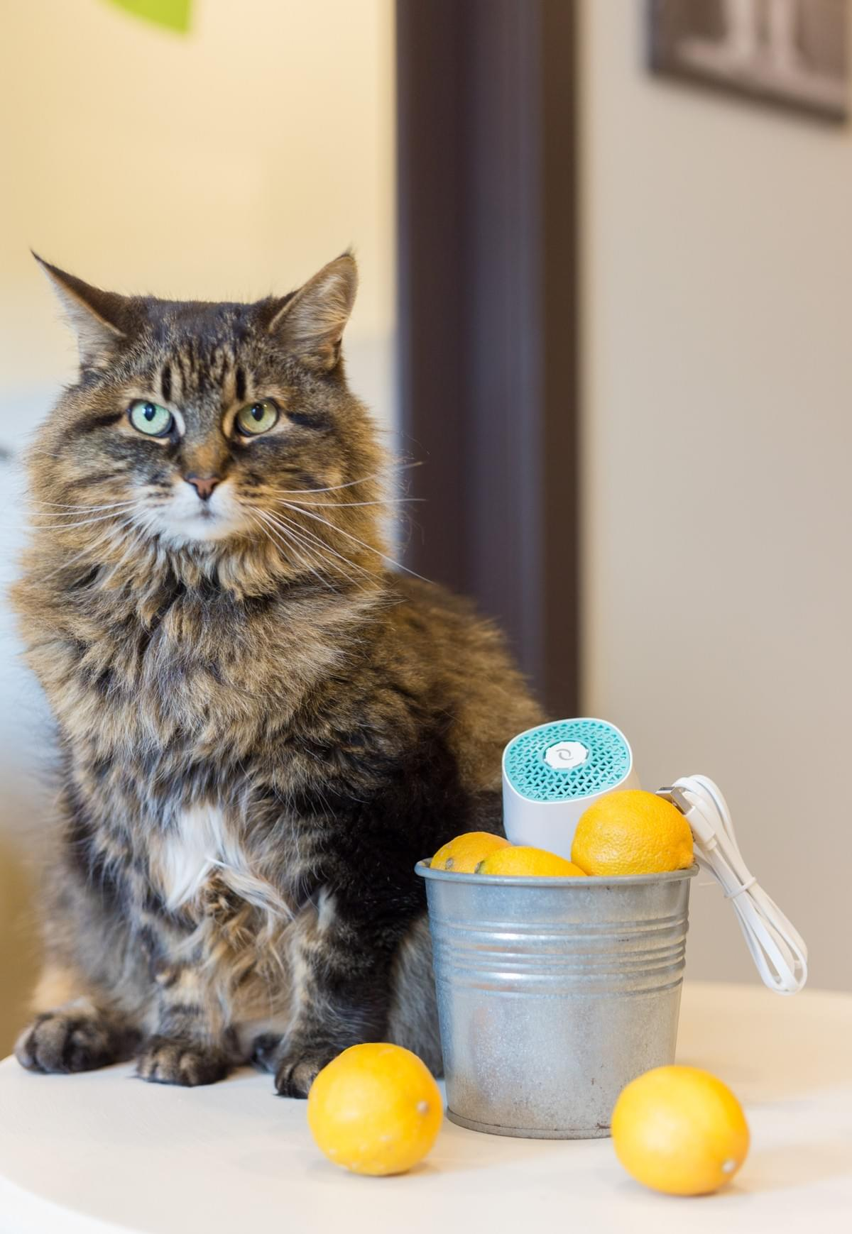 cat posing with ventifresh pet odor eliminator and lemons