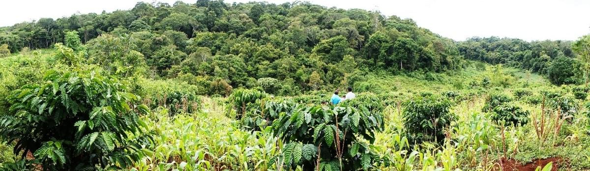 Coffee growing on Mondulkiri province