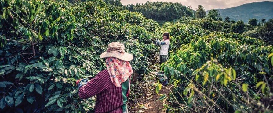 Coffee pickers in Java