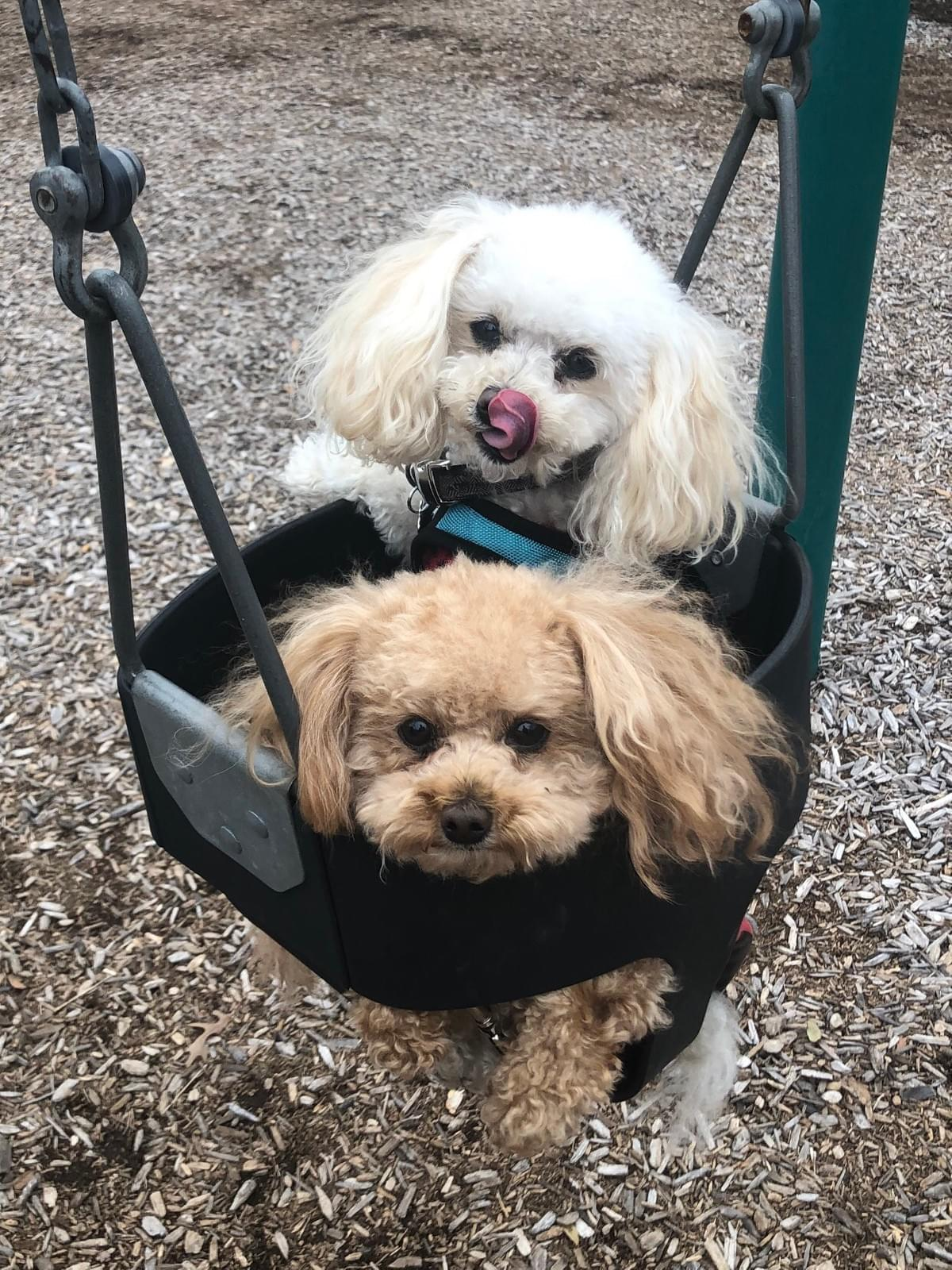 2019 © Not Your Parents Retirement, LLC Attorney Greg Bishop's Dogs: Riggins and Cooper in Swing