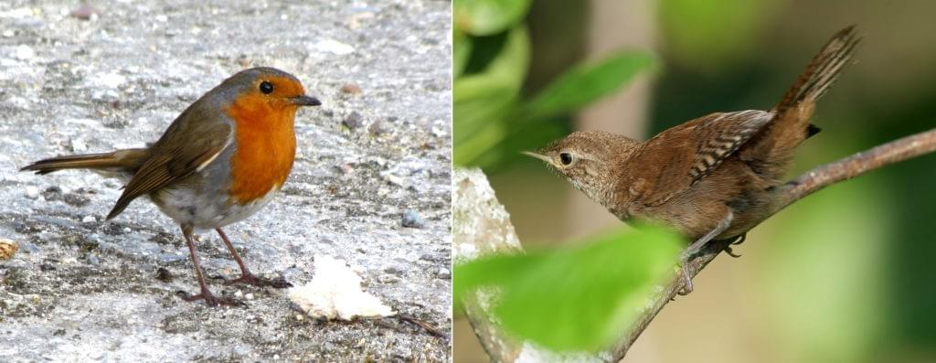 Two photographs side by side: a male robin, facing right, its head cocked to one side, standing on icy ground. In the second, a wren, facing left, tips up its tail as it sits on a twig amongst green leaves.