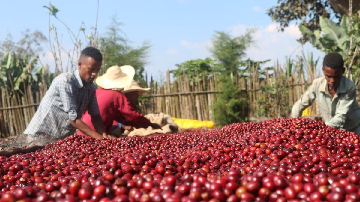 収穫後のコーヒーチェリーを乾燥させる様子