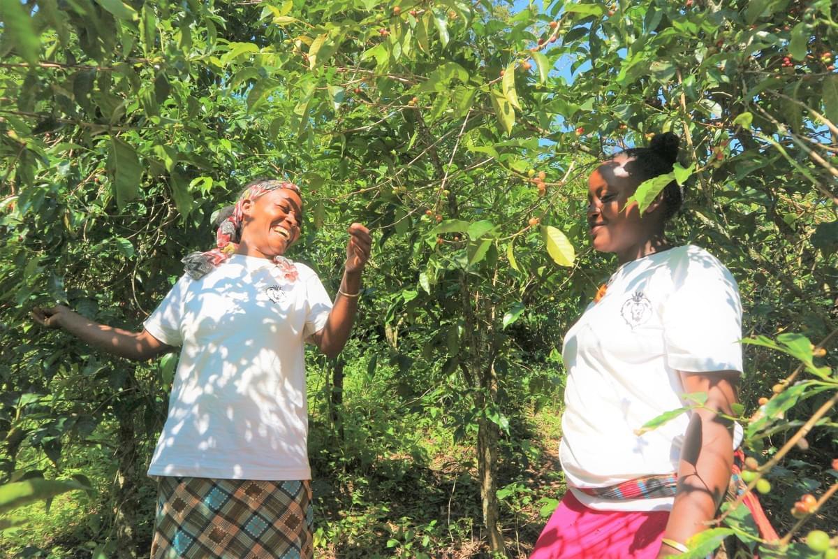 エチオピアでコーヒーを収穫する様子