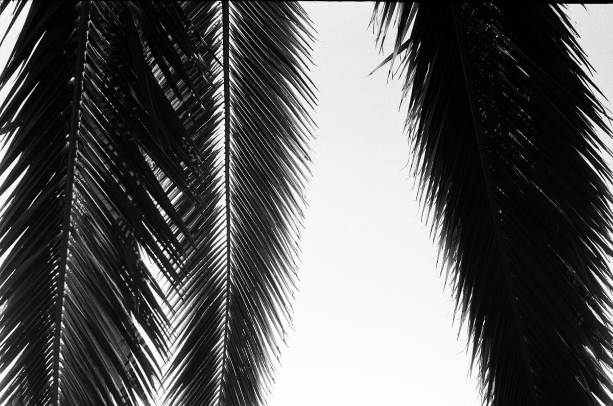 Backlit palm tree branches in black and white taken on a Fed 2 camera