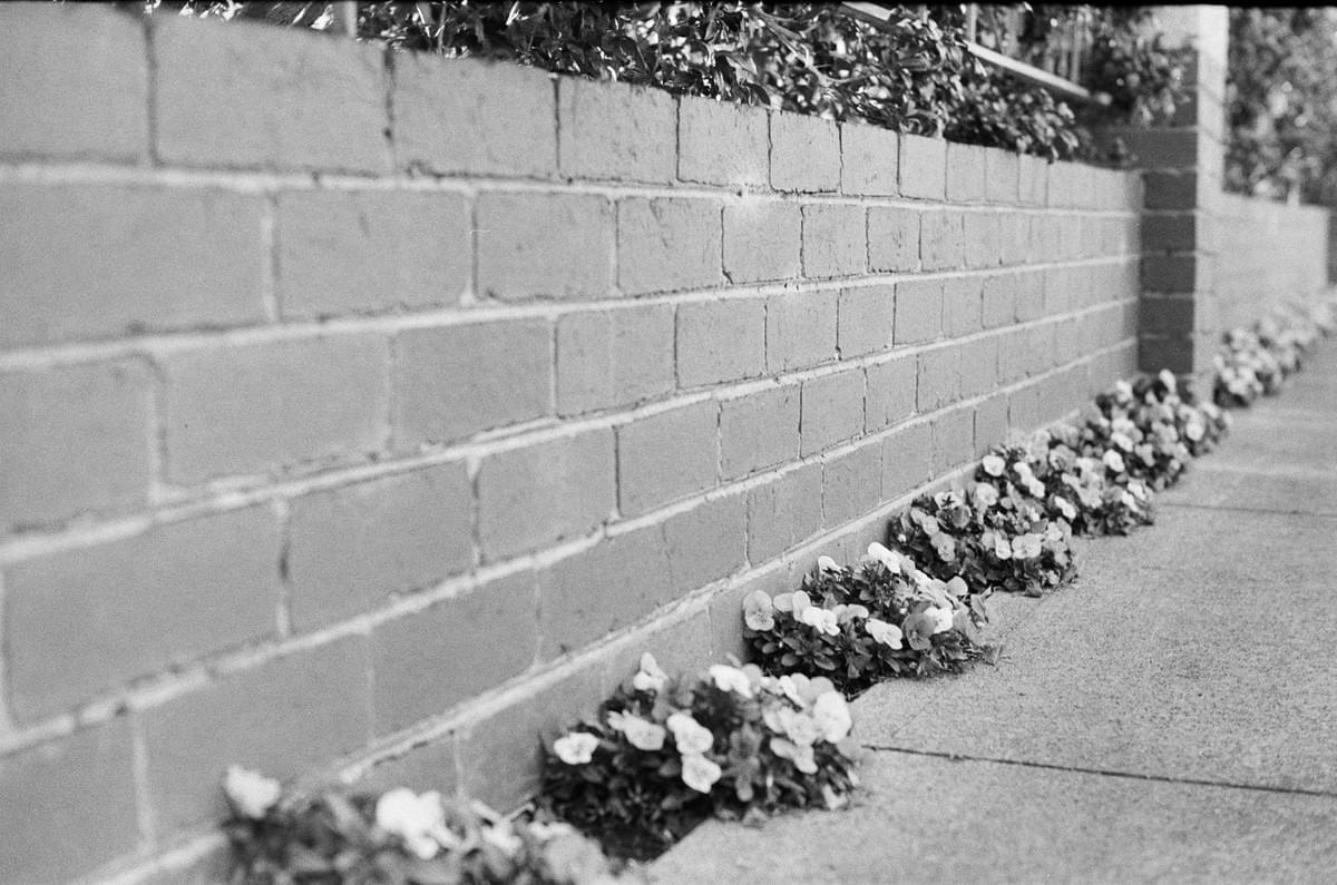 Dotted flower plants along a footpath and low fence in black and white taken on a Fed 2 camera