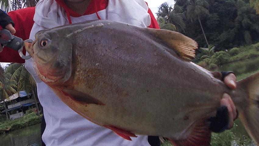 Umpan Ikan Bawal Merah Besar