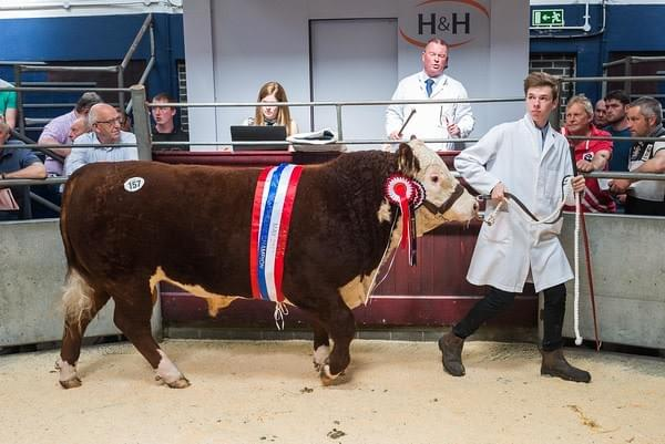 Moorsdie Poll Herefords bull Champion at Carlisle , Borderway 2017 May Sale