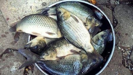 Essen Dan Umpan Ikan Mas Kilo Gebrus