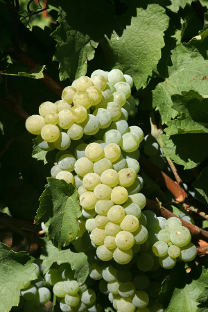 Elbling Grape