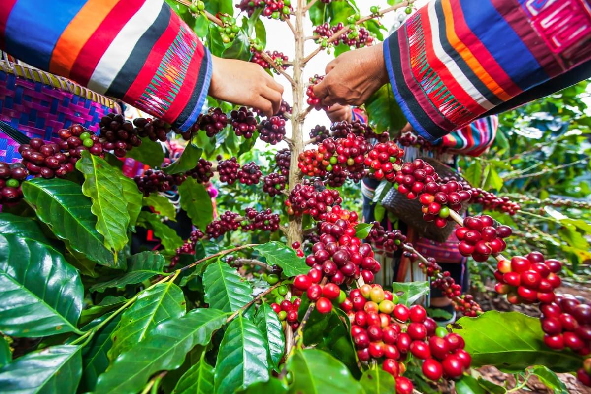 Fairtrade coffee farming
