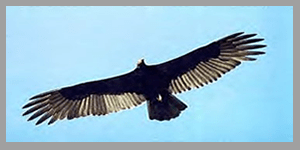 Flying Vulture