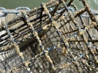 Baby barnacles are encrusting the cage! Sorry little guys, you have to find another home!