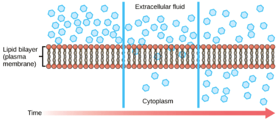 illustration of diffusion through cell membrane