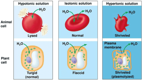 The effect of different solution towards animal cell and plant cell under osmosis