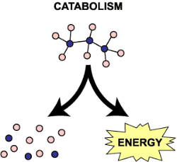 Illustration of catabolism