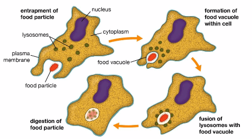 Mechanism of phagocytosis