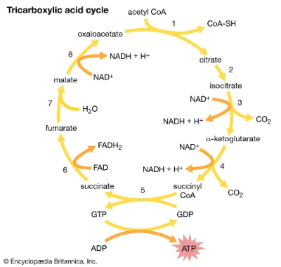 Illustration on Krebs cycle