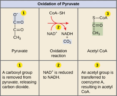 Conversion of pyruvate to acetyl-CoA