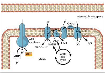 illustration of oxidative phosphorylation