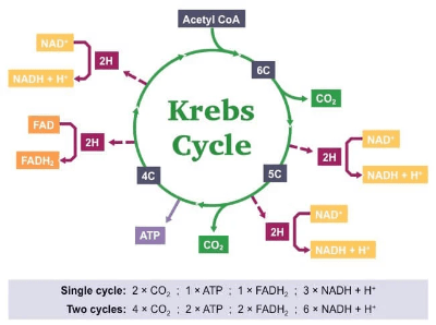 The simple version of Krebs cycle