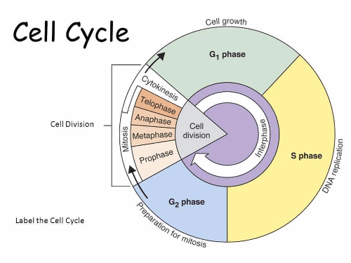 Illustration on the cell cycle