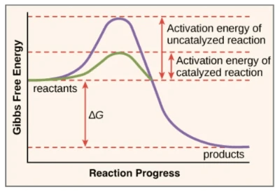 Effect of enzyme towards the change of activation energy