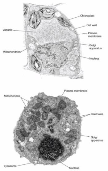 Animal cell and plant cell under electron microscope