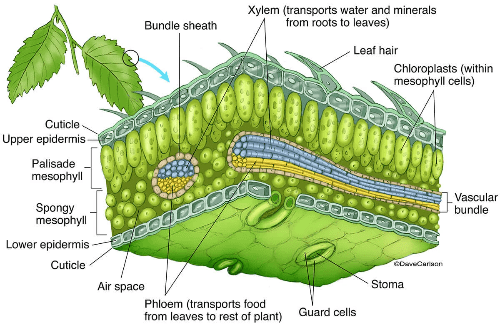 The structure of leaf
