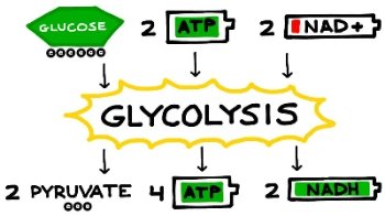 Simple version of glycolysis