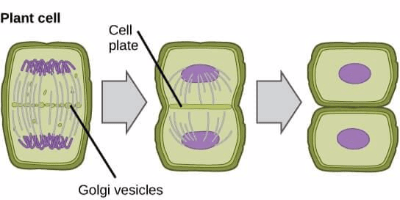 Cytokinesis in plant cell
