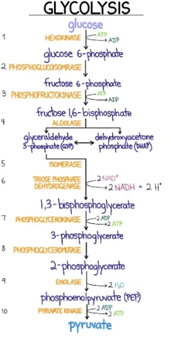 Illustration on glycolysis