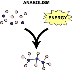 Illustration of anabolism