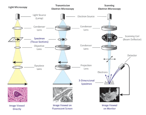 Types of Microscopy - Light, Transmission Electron, and Scanning Electron Microscopy