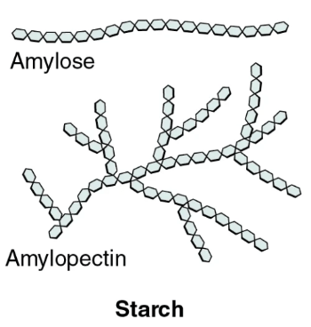 The image shows the branched and helical structures of amylopectin and amylose.