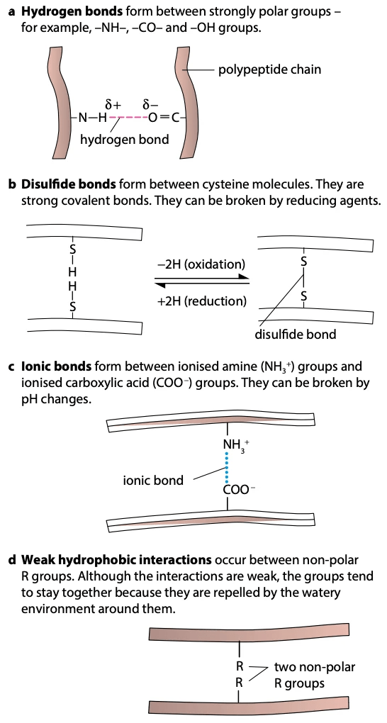 The four types of bonding that are important in protein structure (hydrogen, disulfide, ionic, hydrophobic)