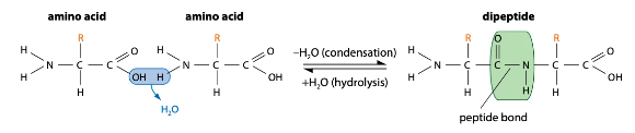 The formation and breakage of peptide bonds to form dipeptides, via condensation and hydrolysis.