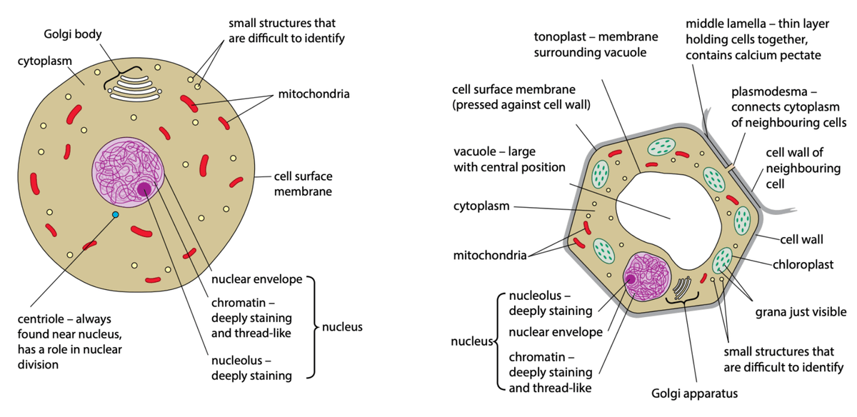 Animal vs Plant cell comparison of organelles