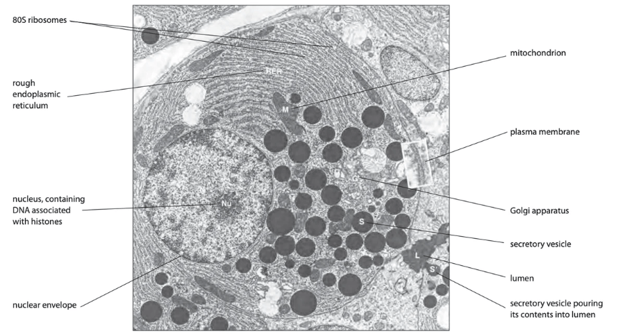Labelled electron microscope photograph of animal cell