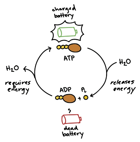 ATP to ADP via hydrolysis results in energy release