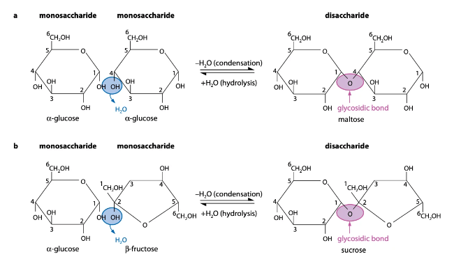 Disaccharide formation occurs when two monosaccharides are combined. Condensation allows formation of glycosidic bonds, and hydrolysis breaks glycosidic bonds.
