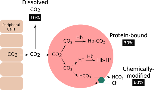 How carbon dioxide is transported in blood