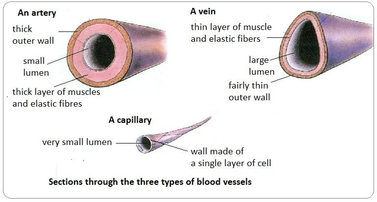 Note how the structure relates to the function of arteries, veins and capillaries.