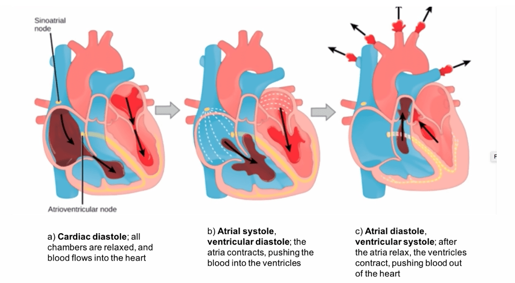 The three stages of a cardiac cycle are: diastole, atrial systole and ventricular systole.