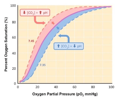 Diagram showing how the oxygen dissociation curve changes as a result of carbon dioxide level changes