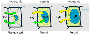 plant cell in different osmolarity solution