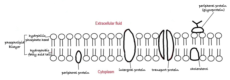 drawing of fluid mosaic model of the cell membrane
